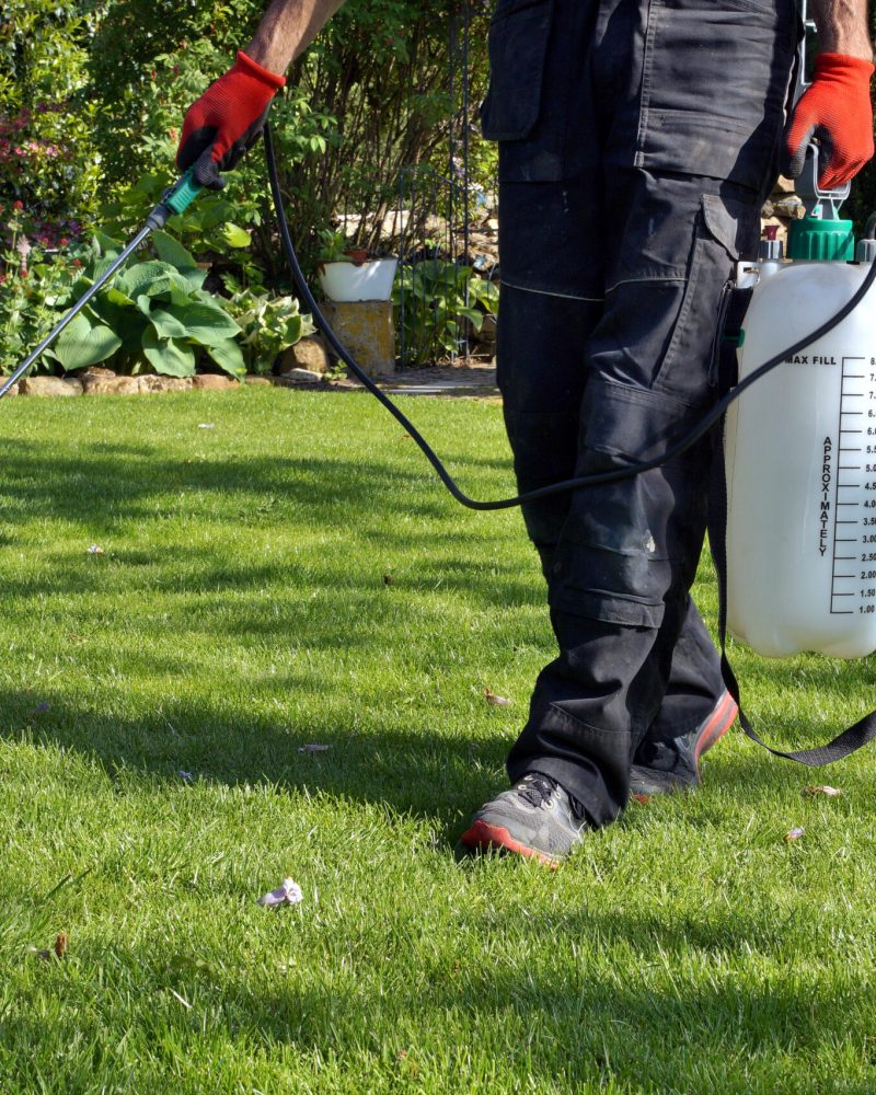 spraying pesticide with portable sprayer to eradicate garden weeds in the lawn. weedicide spray on the weeds in the garden. Pesticide use is hazardous to health. Weed control concept. weed killer